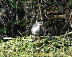 On the nest (ruedigerdr49) Tags: coot bird nest nature animal