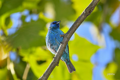 Indigo Bunting (jt893x) Tags: 150600mm bird bunting d500 indigobunting jt893x male nikon nikond500 passerinacyanea sigma sigma150600mmf563dgoshsms songbird