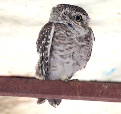 One eye closed spotted owlet (ajaymidha7) Tags: spotted owlet owl wildlife nature india bird birds