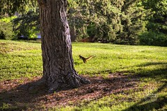 Squirrel running through the grass. Taken on 6-10-19, at Faversham Park in Westminster, Colorado.  ~ ~ ~ ~ ~  #CanonRebelT5 #Canon #Rebel #T5 F/6.3 135mm 1/1600s ISO-1250 #squirrel #grass #FavershamPark #Westminster #Colorado #oooShiny #oooShinyPhotograph (oooshinyphotography) Tags: westminster hashtagcolorado canonrebelt5 naturephotography trees coloradoshared coloradotography canon oooshiny animalphotography grass colorado animals t5 coloradolove rebel treephotography nature tree coloradocreative favershampark animalscaptures coloradophotography squirrel oooshinyphotography treecaptures viewcolorado coloradophotographer animal coloradocollective
