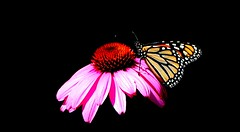 Duo (NinoColetti) Tags: flower butterfly summer echinacea cornflower monarch insect pink