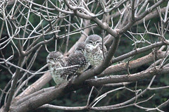 Three half awake spotted owlets (ajaymidha7) Tags: bird birds spotted owlet nature wildlife india indian owl