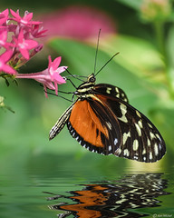 Must Stay Dry (Ken Mickel) Tags: animals butterfly colors insects kenmickelphotography leaf leaves plants reflection reflections wildlife closeup garden nature photography water