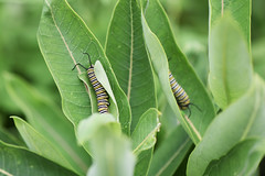 Monarch Caterpillars on Common Milkweed (U.S. Fish and Wildlife Service - Midwest Region) Tags: minnesota mn august 2019 summer commonmilkweed milkweed plant native animal wildlife nature monarch caterpillar