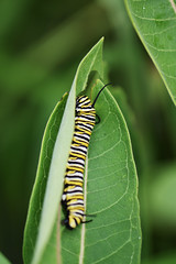 Monarch Caterpillar on Common Milkweed (U.S. Fish and Wildlife Service - Midwest Region) Tags: minnesota mn august 2019 summer commonmilkweed milkweed plant native animal wildlife nature monarch caterpillar