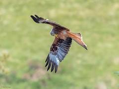 Red Kite (kc02photos) Tags: redkite milvusmilvus bwlchnantyrarian wales uk birdphotography