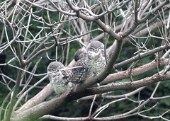 Three sleeping spotted owlets (ajaymidha7) Tags: owl owlet spottedowlet bird birds nature wildlife india indian