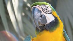 Parrot Alex (Meino NL) Tags: vogel bird huahin anantarahuahin parrot ara papegaai thailand