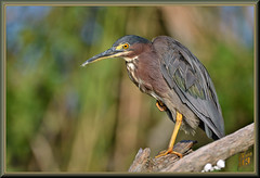 He looked me straight in the eye (WanaM3) Tags: wanam3 nikon d7100 nikond7100 texas pasadena clearlakecity horsepenbayou bayou outdoors nature wildlife canoeing paddling naturephotography animal bird heron greenie greenheron butoridesvirescens