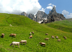 Nei pressi del Passo Rolle (antonella galardi) Tags: trentino trento 2019 passorolle sanmartinodicastrozza escursione escursionismo trekking hiking dolomiti dolomites valvenegia mucche vacche