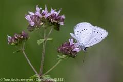 Azuré des nespruns - Holly blue (dom67150) Tags: animal azurédesnespruns butterfly celastrinaargiolus forêtderstein hollyblue insect insecte krafft nature papillon wildlife
