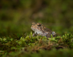 Hop Along (Kathy Macpherson Baca) Tags: animal frog toad american world moss earth planet green hop amphibian tadpole tiny forest