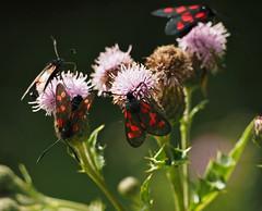 many burnets (Johnson Cameraface) Tags: 2019 july summer olympus omde1 em1 micro43 mzuiko 40150mm f40f56r johnsoncameraface sixspotburnetmoth fivespotburnetmoth burnet moth thistle dayflying