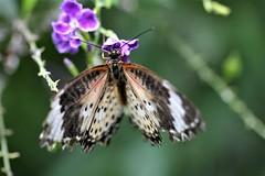 2085 GRANDEUR NATURE DEPLOYEE (rustinejean) Tags: rustine papillon animal nature ailes fleur flower