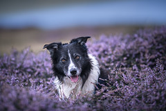 33/52 Watcher in the Heather (JJFET) Tags: 33 52 weeks for dogs paddy border collie sheepdog dog