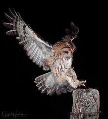 Tawny Owl (Nigel Hodson) Tags: canon 1dxmkii 300mmf28mkii owl owls tawny tawnyowl wildlife wildlifephotography birds birdphotography bird birdofprey nature naturephotography ianhowells