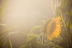 jul-aug19-54 (holies) Tags: countryside campagna pinceto sunflower girasole sunset tramonto