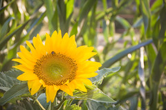 jul-aug19-53 (holies) Tags: countryside campagna pinceto sunflower girasole sunset tramonto