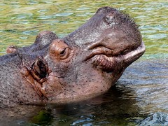 HappyHippo (BrigitteE1) Tags: hippo hippopotamusamphibius emmen wildlandsadventurezooemmen nl flusspferd specanimal