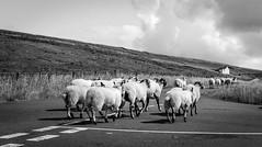 Harwood . (wayman2011) Tags: colinhart fujifilmxpro1 fujifilmxf35mmf2 lightroom5 wayman2011 bwlandscapes mono rural sheep pennines dales teesdale harwood countydurham uk