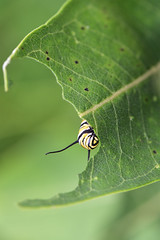 Monarch Caterpillar on Common Milkweed (U.S. Fish and Wildlife Service - Midwest Region) Tags: monarch caterpillar milkweed commonmilkweed minnesota mn summer 2019 animal wildlife nature august