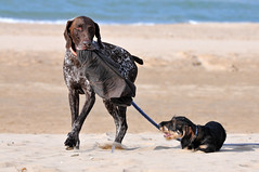 Les copains s'amusent (jeangrgoire_marin) Tags: dog dogs puppy doggo fun happiness beach pet pets chiens buddies