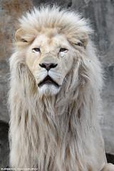 African white lion - Ouwehands Dierenpark (Mandenno photography) Tags: animal animals african white whitelion lion lions leeuw leeuwen credo bigcat big cat cats zoo ouwehands dierenpark dierentuin dieren ngc nature nederland netherlands natgeo natgeographic