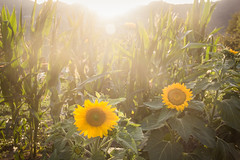 jul-aug19-56 (holies) Tags: countryside campagna pinceto sunflower girasole sunset tramonto