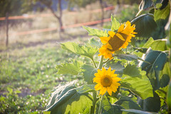 jul-aug19-52 (holies) Tags: countryside campagna pinceto sunflower girasole sunset tramonto