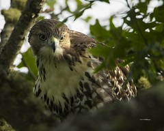 Red Tailed Hawk (wfgphoto) Tags: capecod chathamarea redtailedhawk tree leaves posing hunting