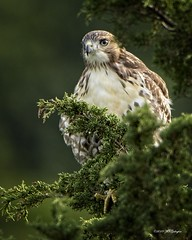 Red Tailed Hawks on watch (wfgphoto) Tags: capecod chathamarea redtailedhawk tree leaves posing hunting