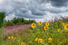 12082019-DSC_0022 (vidjanma) Tags: allerborn champ fleurs nuages tournesols épilobes