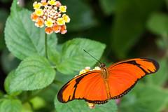 Papillon (clamar18) Tags: papillon france nature butterffly insecte vannes orange noir