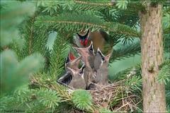 Cedar Waxwing Feeding Frenzy (Daniel Cadieux) Tags: waxwing cedarwaxwing nest nestlings nesting feed feeding hungry siblings forest evergreen spruce ottawa