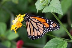Papillon (clamar18) Tags: butterffly monarque orange noir nature papillon insecte lantana flower