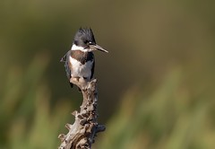 Belted kingfisher (Donald L.) Tags: stump perch animals nature bird beltedkingfisher