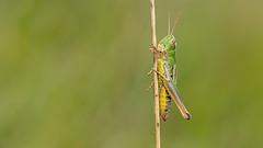 Grasshopper (Distinctly Average) Tags: phillluckhurst distinctlyaverage wwwdistinctlyaveragecouk wildlife buckinghamshire bucks ivinghoebeacon insect macro handheld canon 80d 60mm efs60 grasshopper