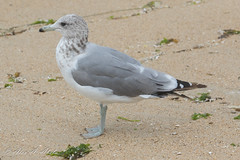 California Gull - 3rd Year - August (aaabela) Tags: 3rdyear august aves california californiagull charadriiformes chordata fortorddunesstatepark laridae larus laruscalifornicus montereycounty bird californicus gull