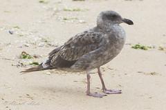 Western Gull - 1st Year - August (aaabela) Tags: 1styear august aves california charadriiformes chordata fortorddunesstatepark laridae larus larusoccidentalis montereycounty westerngull bird gull occidentalis
