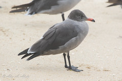 Heermann's Gull - Possible 3rd Year -August (aaabela) Tags: 3rdyear august aves california charadriiformes chordata fortorddunesstatepark heermannsgull laridae larus larusheermanni montereycounty bird gull heermanni