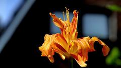 "Orange gefüllte Taglilie (Hemerocallis fulva ""Kwanzo"") (dl1ydn) Tags: dl1ydn lilien taglilie blossom blüten garden orange carlzeiss planar 100mmf28 manual manuell lily"