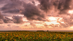 Rhossili, Gower (Richard-Morgan 147) Tags: wales sunflowers sunset gower nature flowers