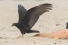 Turkey Vulture - Juvenile - August (aaabela) Tags: accipitriformes aves california cathartes cathartesaura cathartidae chordata fortorddunesstatepark montereycounty turkeyvulture aura bird