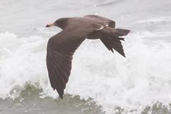 Heermann's Gull - 2nd Year - August (aaabela) Tags: 2ndyear august aves california charadriiformes chordata fortorddunesstatepark heermannsgull laridae larus larusheermanni montereycounty bird gull heermanni