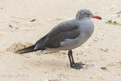 Heermann's Gull - Adult -August (aaabela) Tags: adult august aves california charadriiformes chordata fortorddunesstatepark heermannsgull laridae larus larusheermanni montereycounty bird gull heermanni