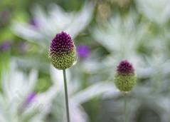 A Fizz Of Alliums (Fourteenfoottiger) Tags: alliums bokeh swirlybokeh vintagelens vintagebokeh helios44m blooms garden flowers pink nature plants buds dof manual manualfocus