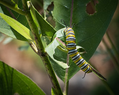Monarch caterpillar, dining on Common Milkweed (hickamorehackamore) Tags: adirondacks monarch monarchbutterfly ny nystate newyork newyorkstate warrensburg caterpillar larva