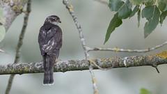 Épervier d'Europe Accipiter nisus - Eurasian Sparrowhawk (yquertenmont) Tags: accipiternisuseurasiansparrowhawk nature ornitho épervierdeurope