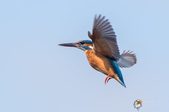 Kingfisher (Simon Stobart) Tags: kingfisher alcedo atthis flying north east england uk