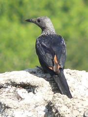 Red Winged Starling (James - Leogem) Tags: birds elandparkgamereserve oribigorge redwingedstarling southafrica izinqolweni kwazulunatal